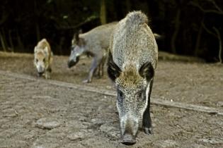 Wildschweine am Grunewaldturm